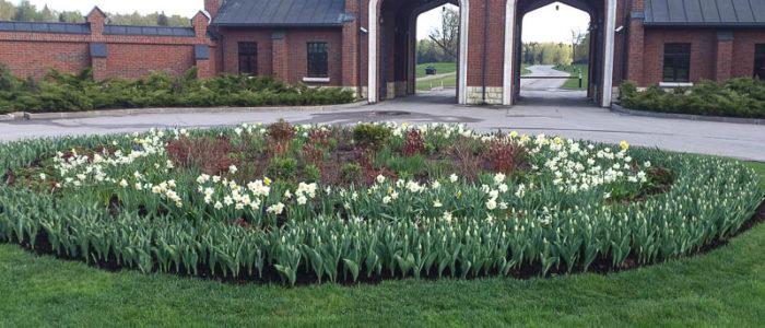 нарцисы и тюльпаны